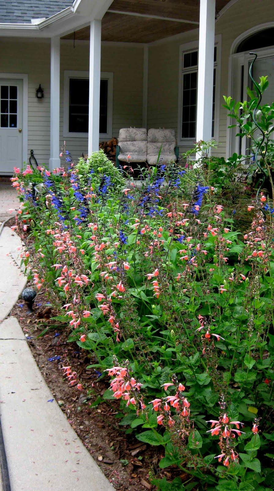 Abutilon Voodoo Logees Plants For Home Garden Blog