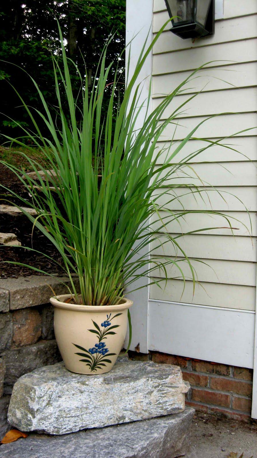 How do you grow lemongrass plants?