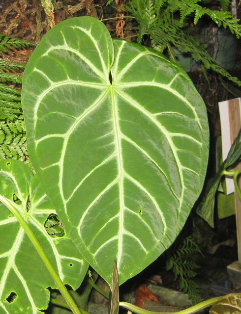Philodendron Prince Of Orange Logee S Plants For Home