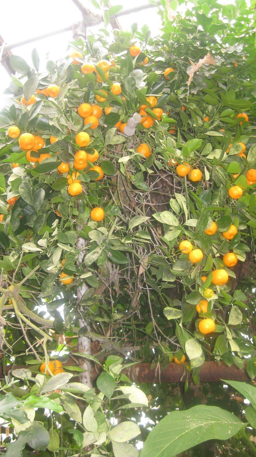 Kumquat logee 39 s plants for home garden blog for Plante kumquat