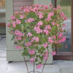 "Pelargonium 'Princess Balcon' ""Swiss Balcony Geranium"""