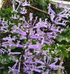 Plectranthus hilliardiae