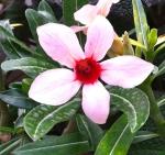 Adenium obesum 'Canary Bird'