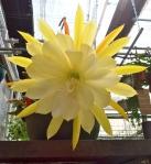 Epiphyllum 'Vista Sun'