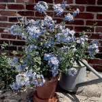 Cape Leadwort- Plumbago auriculata 'Imperial Blue'