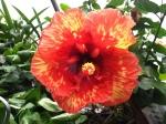 Hibiscus 'Molten Lava'