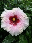 Hibiscus 'High Voltage'