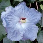 Hibiscus 'Cajun Blue'