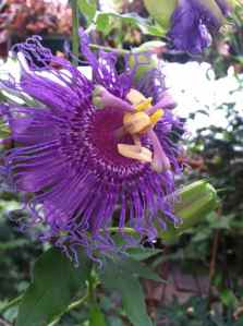 Passion Flower 'Incense'
