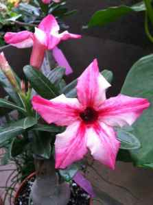 Known as the Desert Rose