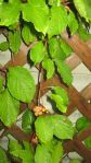 Schisandra chinensis