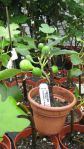 Ficus carica 'Celeste