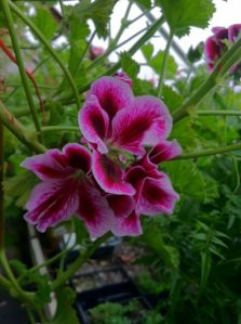 Geranium (pelargonium) 'Empress of Russia'