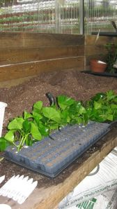 Leaf cuttings in an Oasis tray.