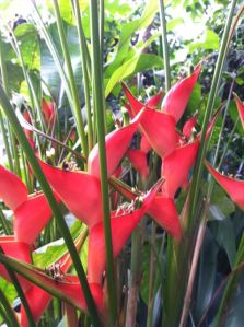 http://www.logees.com/Dwarf-Jamaican-Heliconia-Heliconia-stricta/productinfo/R1333%2D2/