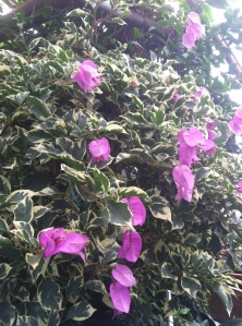 http://www.logees.com/Bougainvillea-Blueberry-Ice-Bougainvillea-hybrid/productinfo/R1079%2D2/