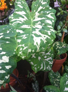 Alocasia 'Hilo Beauty' is one of the many elephant ear plants on display at Logee's and acts as a great air cleaner.