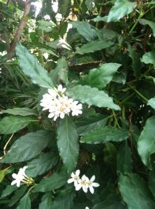 http://www.logees.com/African-Gardenia-Mitriostigma-axillare/productinfo/R1438%2D2/