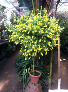 These yellow creamy blooms are wands of fragrance that emit a sweet scent from January through June.