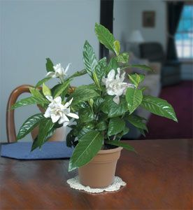 Gardenia 'Belmont' grows beautifully in a pot and produces an abundance of creamy white fragrant flowers.