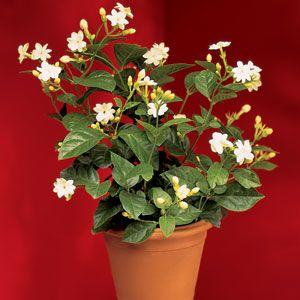 Jasmine 'Maid of Orleans', blossoms make a wonderful jasmine flavored water.