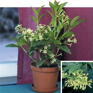 NIght Blooming Jasmine (Cestrum nocturnum) brings the romance back into the evening with its heady scent.
