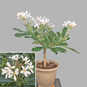 "Plumeria 'Dwarf Sinapore Pink'- Easily grows in a pot and emits a ""take me away to the tropics"" fragrance."