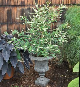 Sweet Almond Verbena (Aloysia virigata) is a wonderfully vanilla -scented flower that can be enjoyed year-round.
