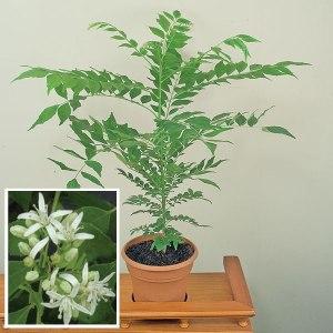 Curry Leaf (Murraya Koenigii)