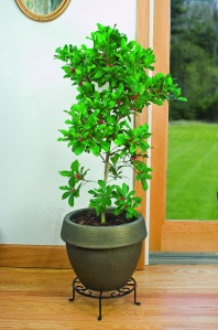 Miracle Berry fruits twice a year and can reach up to 5 feet in a pot