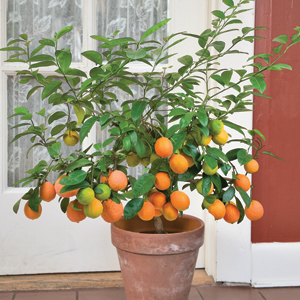 This Tahitian Orange is prolific in its fruiting and the plant keeps growing even while fruiting.