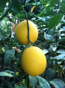 Meyer Lemon has a distinctive fresh lemon flavor and is cherished throughout the world.