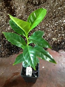 Coffee plant with deep green leaves