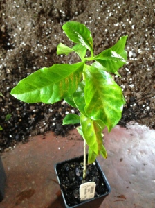Coffee plant, leaves are yellow, in need of feed.