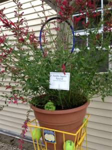 Andrea Agassi- Planted in a tennis ball hopper Agastache Raspberry