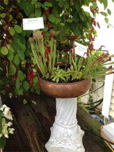 NON-JUDGING ENTRY- from Logee's Maintenance Department- Bug Bath filled with Carnivorous plants.