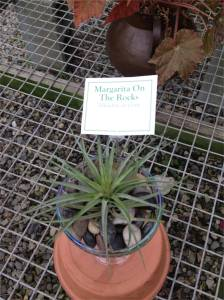 Margarita on the Rocks- An air plant (Tillandsia) on rocks in a margarita glass