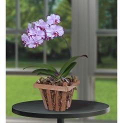 phalaenopsis_orchid_magic_art_4