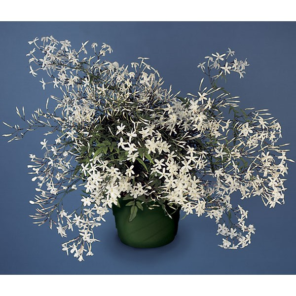 Winter flowering plants logees plants for home garden blog china has a profuse display of fragrant white flowers that appear in the dead of winter it is the national flower in many countries such as indonesia mightylinksfo