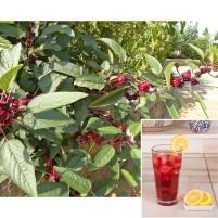 Roselle Jamaican Hibiscus (Hibiscus sabdariffa)