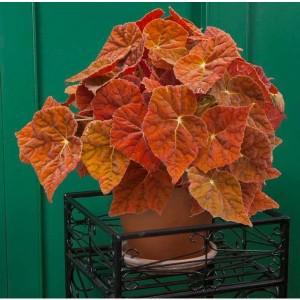 begonia autumn ember